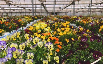 Descubrimos el mundo de las flores comestibles